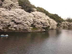 飯田橋 千鳥ヶ淵 桜